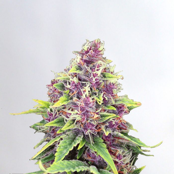 Blueberry Marijuana Seeds