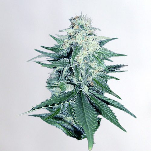 CB Dream Marijuana Seeds