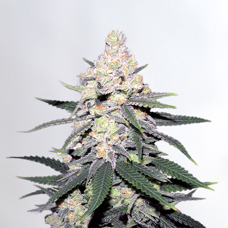 CB Dutch Treat Marijuana Seeds