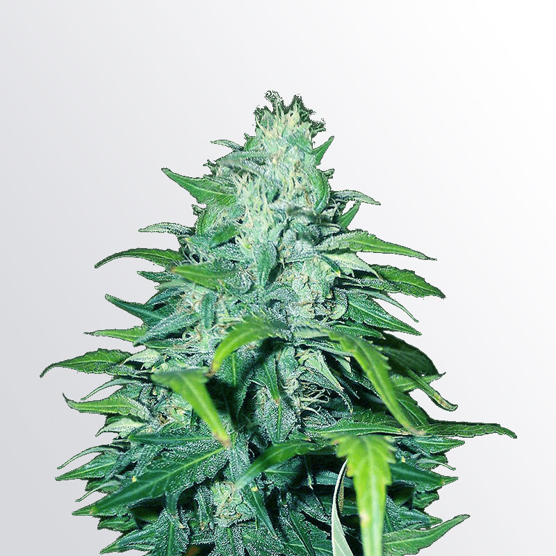 Dwarf Low Flyer Marijuana Seeds
