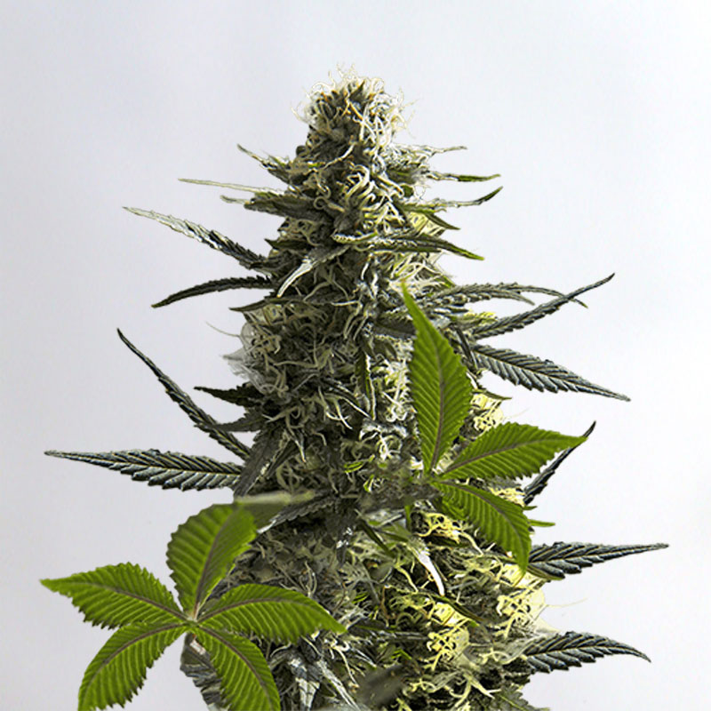 Jack Herer Marijuana Seeds