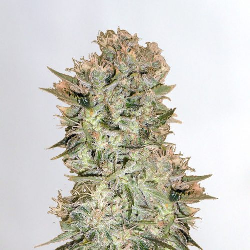 Original Skunk Marijuana Seeds