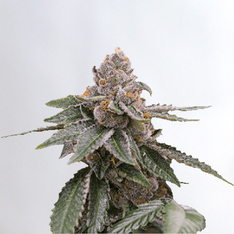 Sour Girl Marijuana Seeds