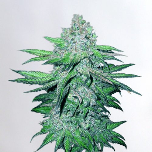 Train Wreck Marijuana Seeds